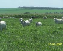 Integração lavoura pecuária de corte