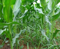 Milho consorciado com braquiária em desenvolvimento vegetativo