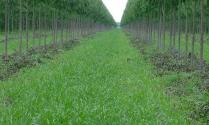Ilpf com pastagem formada e eucalipto na 2 desrama