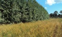 Ilpf eucalipto com arroz