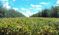 Ilpf eucalipto com soja