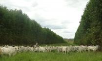 Ilpf eucalipto e pecuária de corte