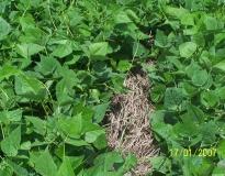 Feijão cultivado em plantio direto sobre palhada de braquiária
