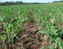 Milho cultivado em plantio direto sobre pastagem de braquiária