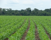 Soja cultivada em plantio direto sobre palhada de braquiária