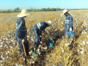 coleta de amostras de solo em lavoura de algodão