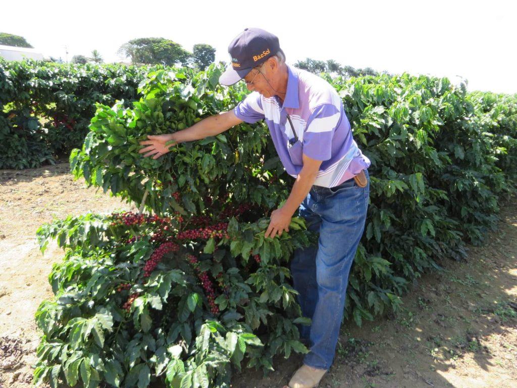 agricultor japonês mostra pé de café - foto Cezar
